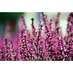 bruyere calluna la jardinerie de pessciart nice 06 2