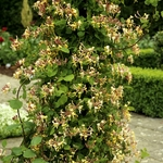 chèvrefeuille plante grimpante Nice