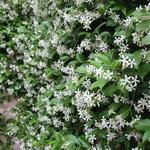 jasmin trachelospermum Nice