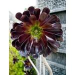 aeonium arboreum la jardinerie de pessicart nice