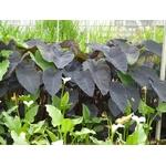 colocasia black magic la jardinerie de pessicart