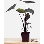 colocasia black magic la jardinerie de pessicart 3