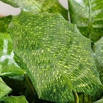 calathea musaica network La jardinerie de Pessicart Nice3
