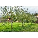 pommiers-d-espèces-golden-delicious-dans-un-verger-la-jardinerie-de-pessicart-nice