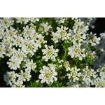 evergreen-candytuft-324393_1920