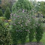 hibiscus syriacus 2