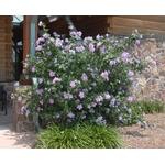 hibiscus syriacus 3