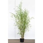bambou-phyllostachys-aurea