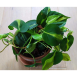 philodendron-scandens-brazil