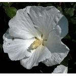hibiscus syriacus 5