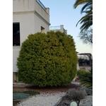 acacia-fimbriata-dwarf- (1)