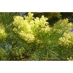 acacia-fimbriata-dwarf-
