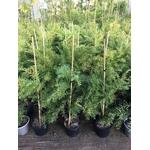 acacia fimbriata dwarf (2)