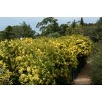 acacia-fimbriata-dwarf- (2)