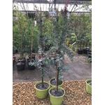 acacia baileyana purpurea2 (2)