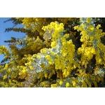 acacia-baileyana-purpurea- (1)