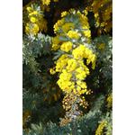 acacia-baileyana-purpurea- (2)