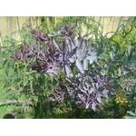 acacia-baileyana-purpurea- (3)