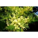 acacia-parramattensis (2)