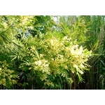 acacia-parramattensis (1)