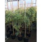 Acacia Dealbata Pendula 12 Tige (3)