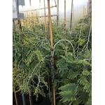Acacia Dealbata Pendula 12 Tige (4)