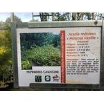 Mimosa - Acacia Redolens Vanille (1)