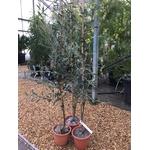 Mimosa - Acacia Redolens Vanille (3)