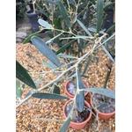 Mimosa - Acacia Redolens Vanille (5)