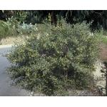 acacia-redolens (2)
