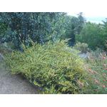 acacia-redolens