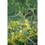 acacia-redolens (1)