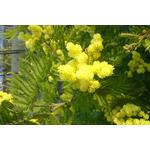 acacia-dealbata-mireille- (2)