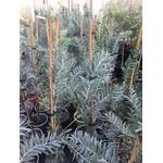 Mimosa - Acacia covenyi (1)