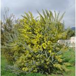 acacia-covenyi