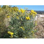 acacia-covenyi (3)