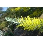 acacia-covenyi (2)