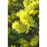 acacia-covenyi (1)