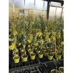 Mimosa - Acacia podalyriifolia (1)
