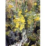 Mimosa - Acacia podalyriifolia (3)
