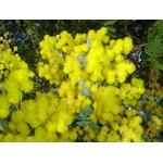 acacia-podalyriifolia-syn-moutteana (3)
