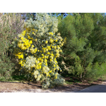 acacia-podalyriifolia-syn-moutteana (4)
