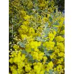 acacia-podalyriifolia-syn-moutteana (1)