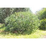 acacia-podalyriifolia-syn-moutteana (2)