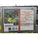 Mimosa - Acacia retinodes Imperial (1)
