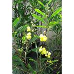 acacia-retinodes-imperial-