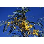 acacia-retinodes-imperial- (1)
