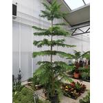 Araucaria La Jardinerie de Pessicart Nice 06100