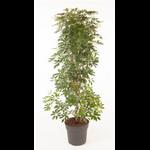 schefflera la jardienerie de pessicart Nice Livraison de plantes a domicile
