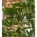 palmier queue de poisson caryota mitis- La jardinerie de pessicart nice - Livraison a domicile nice 06 plantes vertes terres terreaux jardinage arbres cactus